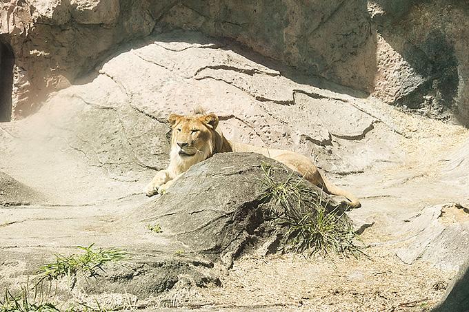東山動物園のライオンのサンとルナの展示時間