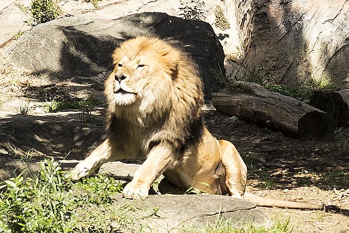 ライオンのお父さん