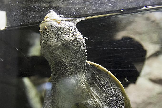 オオニオイガメ