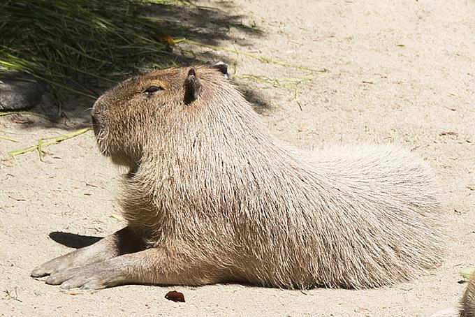 東山動物園にカピバラはいる?さわったりできる?赤ちゃんは生まれたのか。