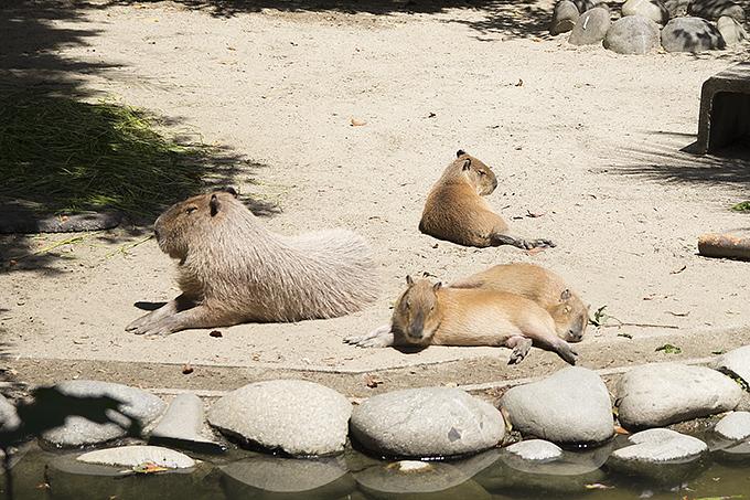 東山動物園カピバラ